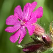 Silene dioica - Red Campion - 2400 seeds